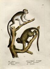 1824 Squirrel Monkeys - K.J. Brodtmann handcol Folio stone lithography - Mammal