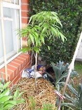 Trái vải - Hakip Lychee - 2 Feet Tall - Air Layered Tree