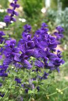 Exot Samen schnellwüchsig Garten Zierpflanze Rarität SCHOPF-SALBEI