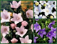 Balloon Flower Seeds, Purple, Pink & White 3pk Special, Heirloom Perennial Seed