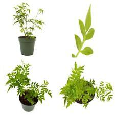 "Pink Jasmine Plant Jasminum Polyanthum Fragrant 4""Pot Indoor Outdoor Best Gift"