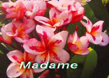 "Plumeria/Frangipani/Flowers/""Madame""/50 seeds"