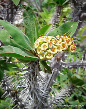 EUPHORBIA DIDIEROIDES @j@ exotic rare succulent cactus cacti plant seed 5 SEEDS