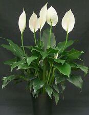 1L Pot Spathiphyllum House Plant Peace Lily Easy Maintenance