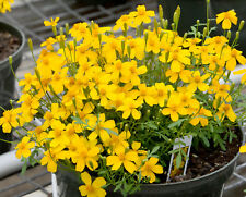 Mexican Mint Marigold 50 seeds Tagetes Lucida  Herbal Tea Soup  CombSH B28