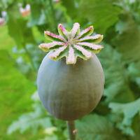 TASMANIAN POPPY Seeds 1,000x | Papaver | Rare Sacred Shaman Medicinal Unusual