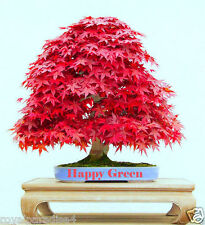 12 Seeds Red Japanese Maple Bonsai Flowering Tree Seeds Good Growing Seeds