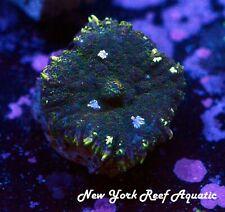 New York Reef Aquatic - 0916 H6 Patchwork Mushroom Wysiwyg Live Coral