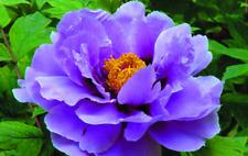 Rare Purple Heirloom Peony Roots Paeonia Suffruticosa Perennial Fragrant Flower