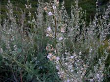 White Sage Seeds - Salvia Apiana - Magical, Medicinal, Pagan Herb, Sacred Sage