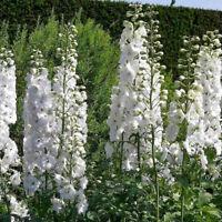 PERENNIAL ALPINE FLOW #876 80 seeds PASQUE FLOWER ALBA Pulsatilla vulgaris