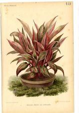 Botanica - cromolitografia originale francese fine '800 - Heliconia illustris