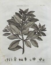 1797 Genuino Antiguo botánico Impresión Invierno Aromatica Plus texto descriptivo