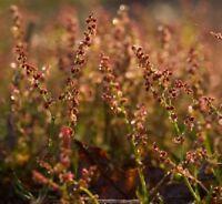 Wildflower Seeds - Sheep's Sorrel - 500 Seed