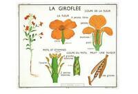 WALLFLOWER POSTCARD - FRENCH LANGUAGE - LA GIROFLEE - NEW & PERFECT