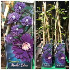 Clematis Multi Blue~gefüllte Blüte ~ Kletterpflanze ~ New