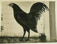 """Mariana Yampolsky Signed Silver Gelatin Photograph Art Print """"Rooster"""" 1995"""