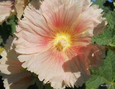 60 Hollyhock Seeds:15 CORAL, 15 LT. ORANGE, 15 YELLOW, 15 REDDISH ORANGE/YELLOW