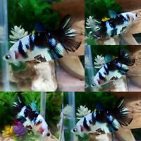 Koi Snow Black Halfmoon Plakat Female -IMPORT LIVE BETTA FISH FROM THAILAND