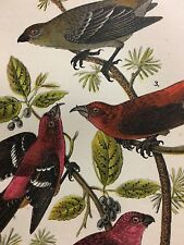 Colorful Antique 1890 Bird Print Pine Grosbeak American Crossbill Tree Branch