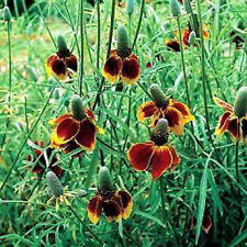 RATBIDIA - Mexican Hat Red Midget  50 Seeds