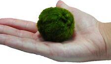 Giant Marimo Moss Ball 2.3 inch (60cm) Cladophora Moss Aquarium Plant USA SELLER