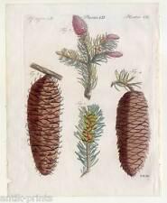 Bäume-Tanne-Fichte-Zapfen-Nadelholz - Bertuch - Kupferstich 1810