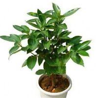 Seeds Cinnamon Tree Dwarf Bonsai Indoor Evergreen Plant Flower Pot DIY Garden