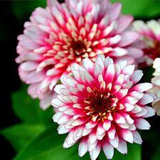 200 Pcs Colorful Zinnia Flower Plant Seeds Bonsai Seeds Garden Decor Beautiful