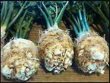 "CELERIAC SEEDS ""WHITE ALABASTER"" ( APPROX 200 SEEDS)"