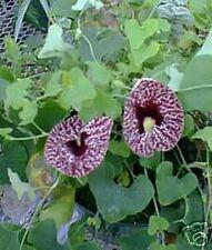 Aristolochia elegans Calico Flower Exotic Seeds!