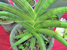"New Hybrid Draft Sansevieria ""Lav.1970"" Very rare Don't miss@"