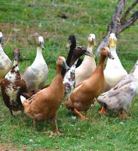 6 x Mixed Colour Indian Runner Duck Hatching Eggs Fertile FREE SHIPPING
