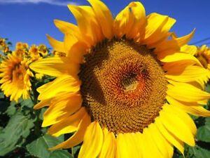 """Sunflower Seeds Bulk """"400 Seeds"""" Easy To Grow"""