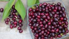 Cornelian cherry, Cornus mas, 20+ seeds