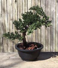 Japanese Juniper Bonsai Tree in 6.5 round plastic pot . Thick trunk