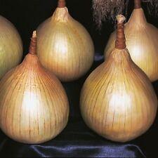 Cebolla-Ailsa Craig - 400 Semillas