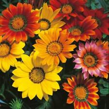 Pack Kings Seed Gazania Splendens Mixed Flower Seeds