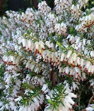 9cm Pot Heather Erica Carnea Springwood White Winter heath Snow heath