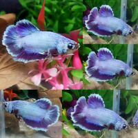 Purple Halfmoon Plakat Male - IMPORT LIVE BETTA FISH FROM THAILAND