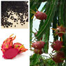 Red Dwarf Dragon Fruit Seeds, Cactus Garden Plant Seeds, Juicy and delicious