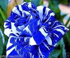 Rare Blue Dragon Rose Flower Seeds Bonsai Pot Plants Garden -10 seeds pack