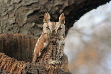 ADORABLE EASTERN SCREECH OWL FINE ART GREETING CARD