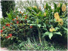 Hedychium Tai Sunlight -  1 rhizome - rustique