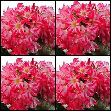 Adenium~Desert Rose < PUMSAWAI > Suit Bonsai~Indoor~10 SEEDS