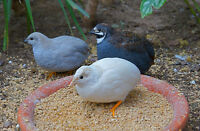 6 Pure Chinese Painted/Button/King Quail Hatching Eggs