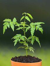 Neem  Azadirachta indica Tree Seeds (Pack of 5 seeds) X-055