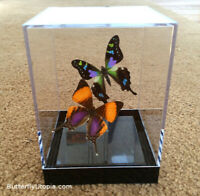 Sunset Moth Real 3D Framed Butterfly Table Top