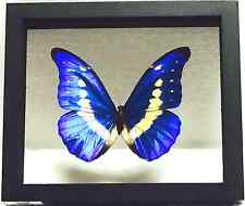 REAL BUTTERFLY, MORPHO RHETENOR HELENA, IN DOUBLE-GLASS BLACK WOOD FRAME, PERU