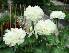 35+ Papaver Paeoniflorum White Cloud Poppy Perennial Flower Seeds